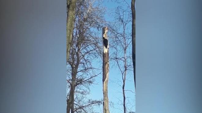 Видео: в Сестрорецке заметили черного дятла
