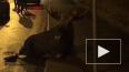 Сбитого лося усыпили в Петербурге