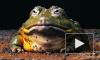 Ученые открыли петербуржцам лягушек-левшей