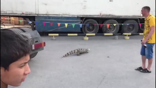 По улицам Новосибирска бегал настоящий крокодил