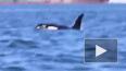Касатки растерзали дельфина на глазах у ученых