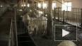 Чумные отряды - охота на петербургских свиней открыта