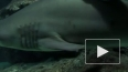 В Приморье новое нападение акулы-убийцы, спасатели ...