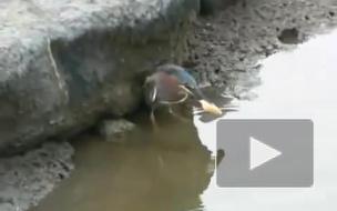 Птица демонстрирует зачатки интеллекта