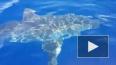 Шестиметровая акула-людоед поплавала вокруг лодки ...