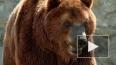 Медведь растерзал мужчину и искалечил женщину у сибирского ...
