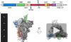 Учёные получили атомную структуру оболочки коронавируса