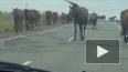 По Ропшинскому шоссе разгуливает табун бесхозный лошадей