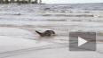 Видео: троих тюленей выпустили в Финский залив после ...