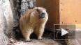 В Ленинградском зоопарке проснулись сурки Ижорик и Авгус...