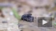 Австралиец обнаружил семь новых видов пауков-скакунчиков
