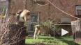 Видео: Гиббоны из Ленинградского зоопарка активно ...