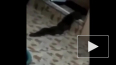 Пара из Малайзии обнаружила у себя в ванной двухметровое ...