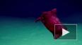 Видео: Ученые показали безголового куриного монстра, ...