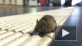 В легких мышей найдена новая группа иммунных клеток