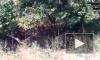 Видео из Индии: Разъяренный тигр ворвался в деревню и загнал гостей свадьбы на крышу