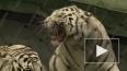Запашный: с нами работает неуравновешенный тигр