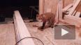 В сети появилось видео, на котором лисенок пришел ...
