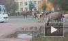 Видео: в Тихвине коровы вышли на прогулку по городу