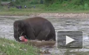 Храбрый слоненок бросился спасать из бурной реки человека и стал героем интернета