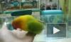 Попугай имитирует секс