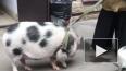 В центре Петербурга заметили огромную пятнистую свинью ...