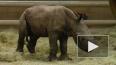 """В США в зоопарке родился первый белый носорог """"из ..."""