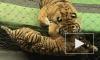 В День тигра Эдгар Запашный боится стать лакомством для хищников