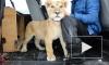 Активисты из Петербурга выкупили львенка у бездушного хозяина