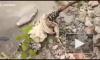 Видео: Леопард набросился на своего спасителя