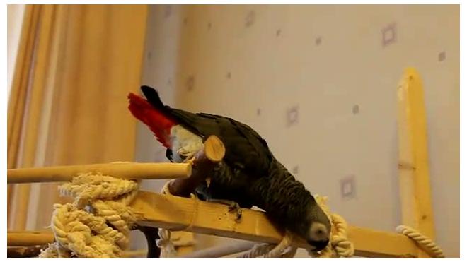 Немногословный попугай