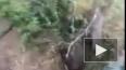 Видео: Медведь загнал рыбаков на дерево в Хабаровском ...