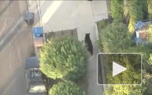 Набиравший СМС американец столкнулся с бродившим по улицам медведем