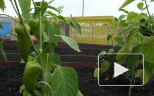 Новая Голландия: общественный огород открыт