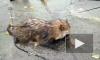 Под Володарским мостом в Петербурге спасли енотовидную собаку