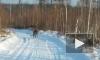 Приморье: видео о свободно разгуливающем амурском тигре вблизи людей взорвало интернет