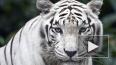 В Тбилиси застрелили белого тигра, растерзавшего человек...