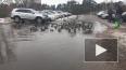 Видео: в Сосновом Бору в луже поселились полсотни уточек