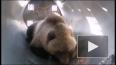 На Камчатке медведя-попрошайку заманили пирожками ...
