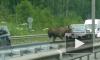 Лось бегал по проезжей части на Косыгина и врезался в машину