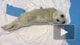 Найденный на Финском заливе тюлененок начал набирать вес