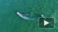 В Калифорнии серый кит подплыл вплотную к пляжу и ...