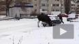 Появилось видео: в Пензенской области дикий лось облюбов...