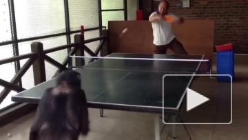Обезьяна играет в настольный теннис