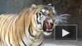 Сбежавшая из клетки тигрица первым делом пошла смотреть ...