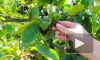 Эксперты дали советы по выбору сезонных ягод
