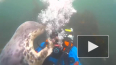 Видео: Тюлень подружился с дайвером и захотел забрать ...