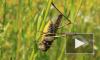 В США намерены использовать саранчу в военных целях