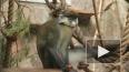 В честь дня рождения зоопарка торжественно чавкали ...