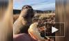Суслики-евражки пробежали 14 км по льду и заселились на острове в Чукотке